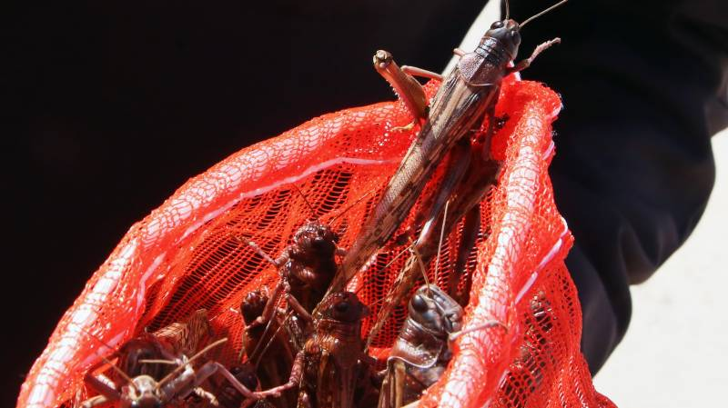 Half-a-million insect species face extinction: scientists