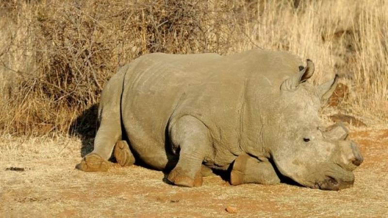 Nearly 50 rhinos killed in Botswana in 10 months as poaching surges