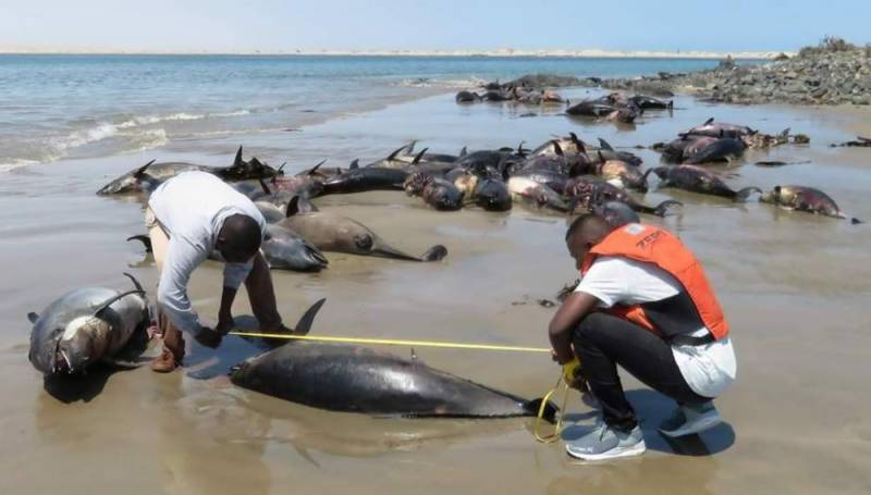 Namibia launches probe after 86 dolphins die on beach