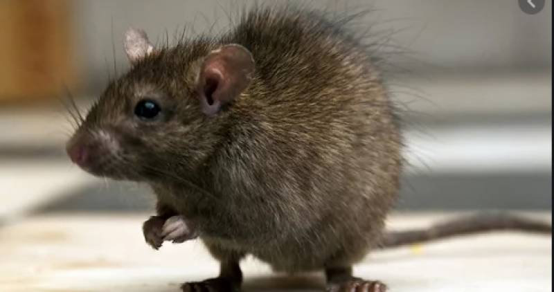 Now hantavirus spreads terror; kills man, infects 32 in China