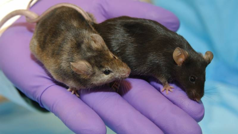 Engineered virus tested on mice offers hope for protection against Covid-19
