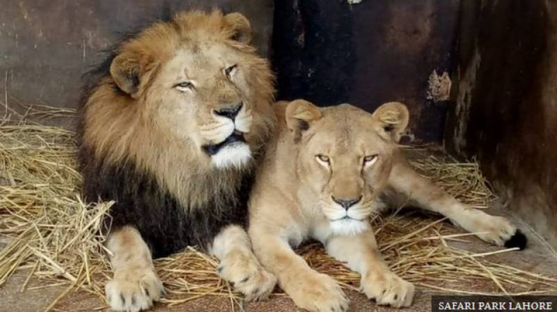 Punjab sells seven pairs of African lions