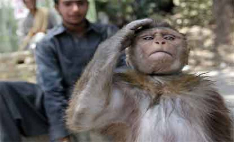 Desperate monkey enters Supreme Court to petition for food