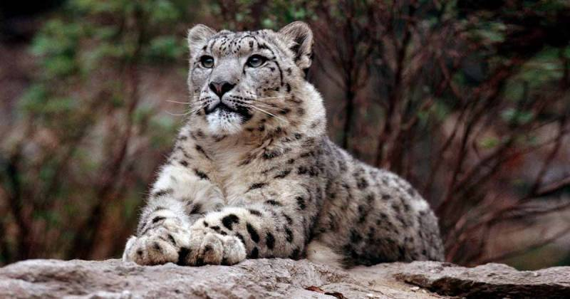 Alice Wells excited to see Pakistan's snow leopards on tracking cameras