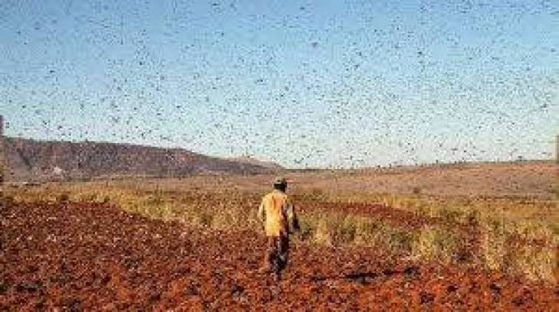 Food crisis feared as large parts of Sindh face locust attack