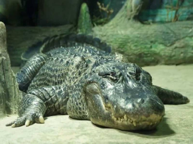 Alligator who survived Berlin WWII bombing dies at 84