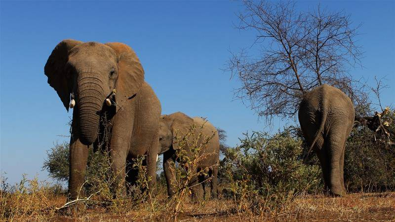 Namibia culls elephants to protect crops