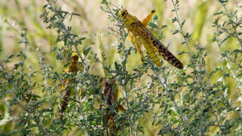 Govt to spend Rs20b for combating locust threats: Fakhar Imam