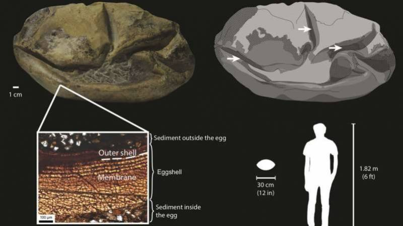 Case cracked: mystery Antarctica fossil is massive prehistoric egg
