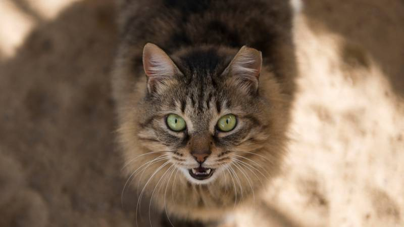 More feline control after cat contracts rare virus in Italy