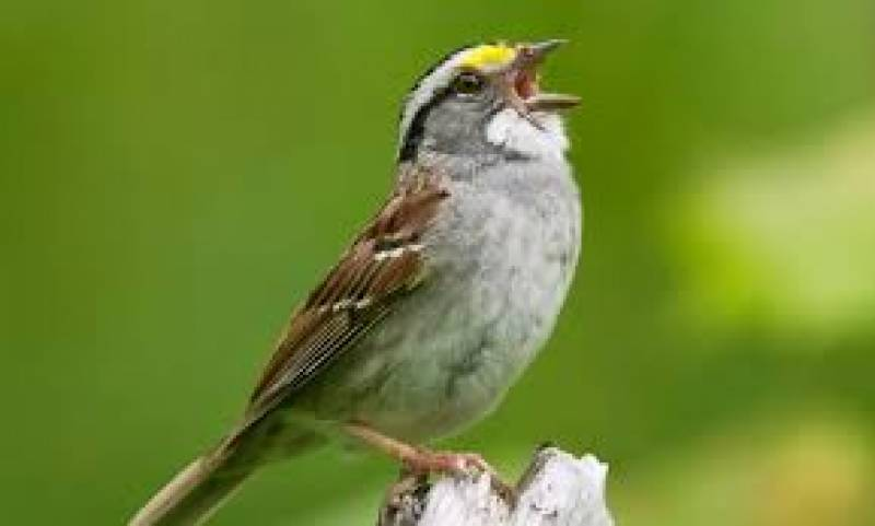Going viral: Why Canadian sparrows have changed their tune