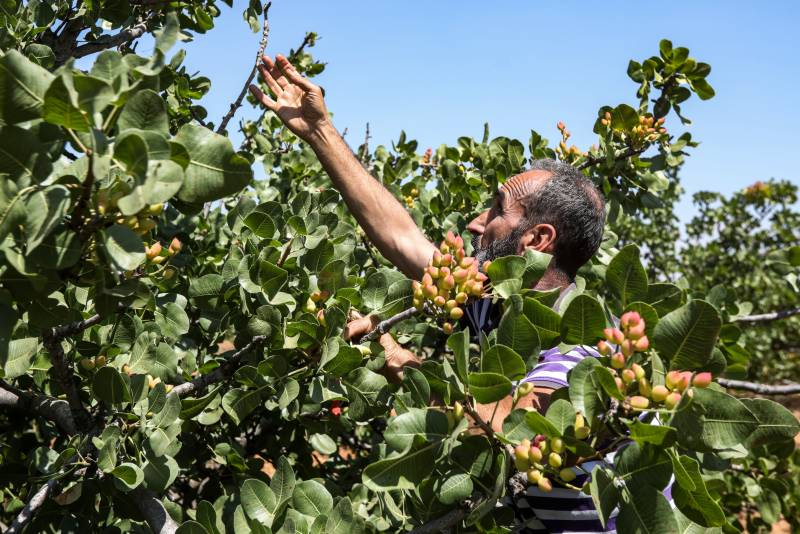 Syria pistachio farmers return to orchards after years of war