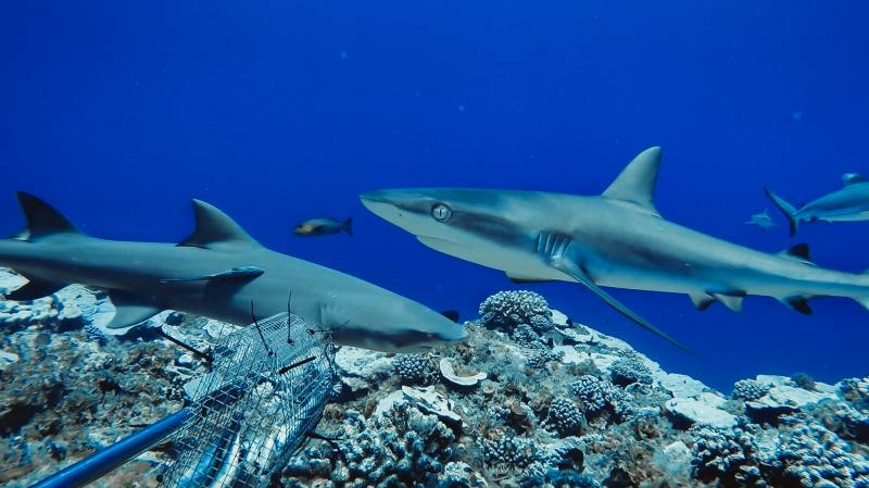 Reef tales: candid cams reveal shark populations in decline