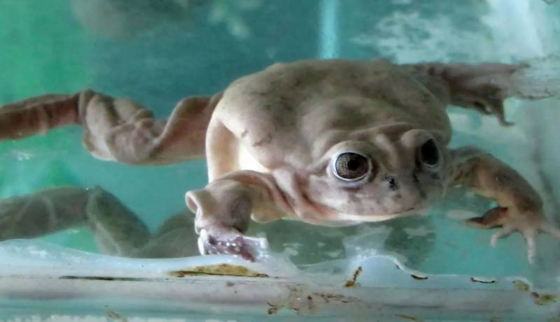 International team of scientists to preserve Lake Titicaca giant frog