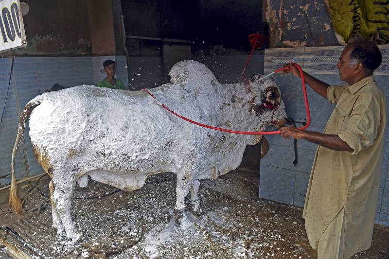 Cow Wash: Pakistanis scrub Eid animals at car cleaners