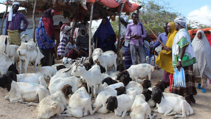 Restricted Hajj hits Somalia's livestock economy