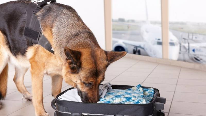 German airport dog sniffs out big cash stashes