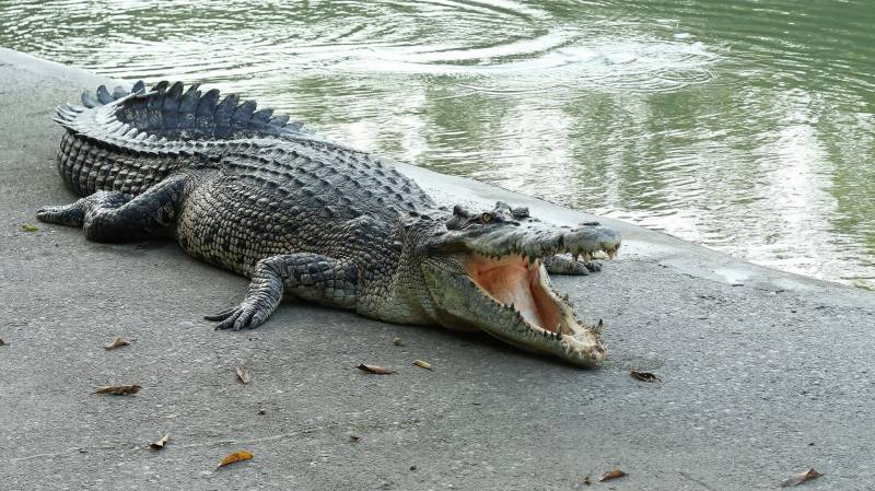 Crocodile swallows 10-year-old girl in Sukkur