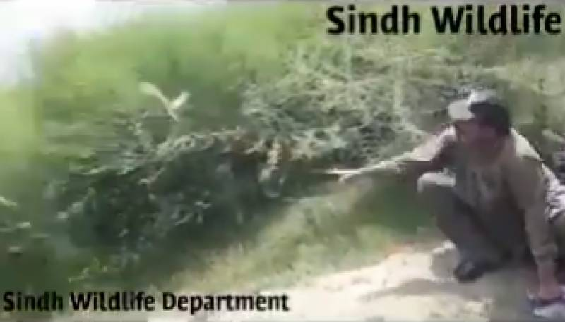 Sindh Wildlife saves black partridges from poachers