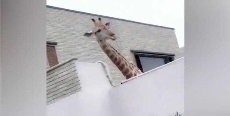 Giraffe in a house turns heads in Karachi