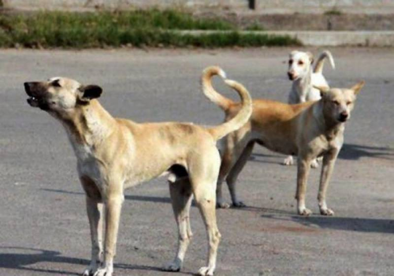 Dogs maul six-year-old girl to death in Uch Sharif
