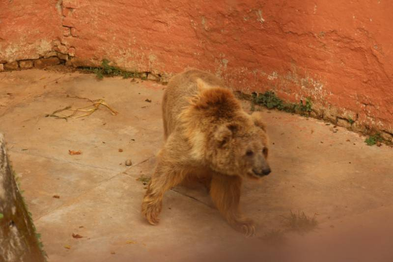 Female bear at Islamabad Zoo sick with breast tumour
