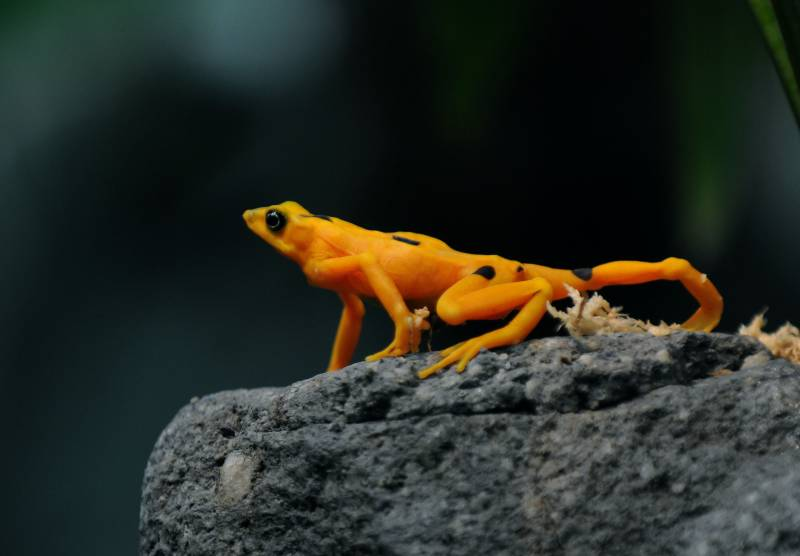Superfungus' threatens last Panamanian golden frogs