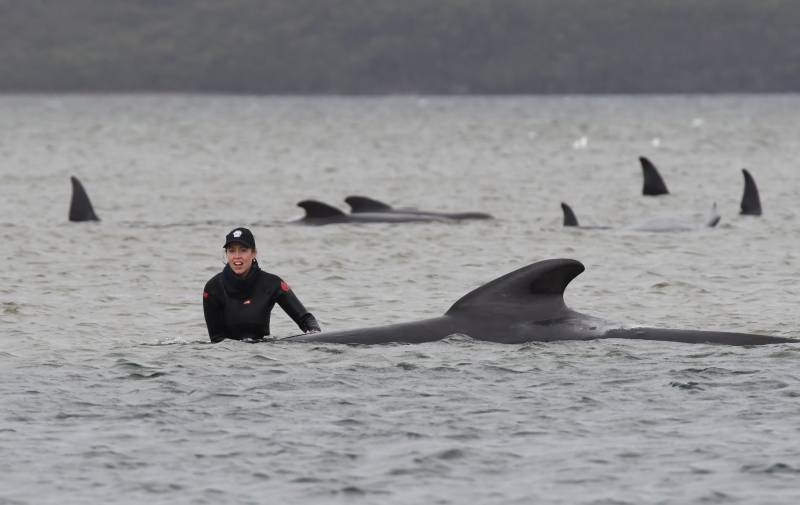 Rescuers race to save 180 stranded whales in Australia