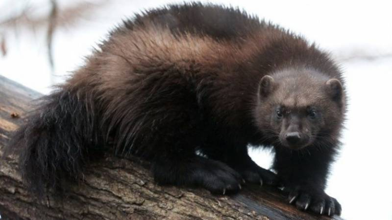 US says climate change doesn't threaten snow-dwelling wolverines