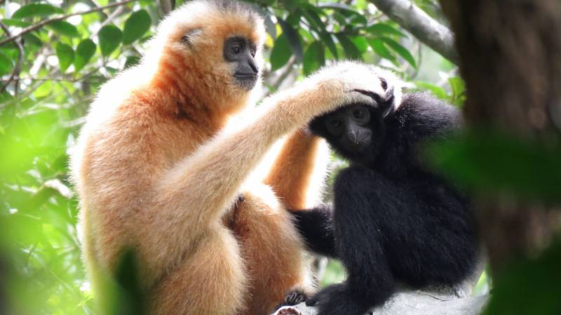 Scientists offer lifeline for world's rarest primate