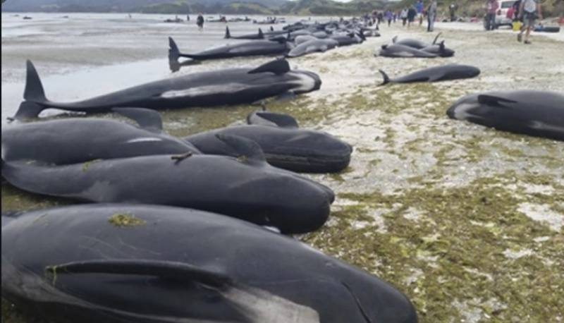 Scores of pilot whales dead in New Zealand stranding