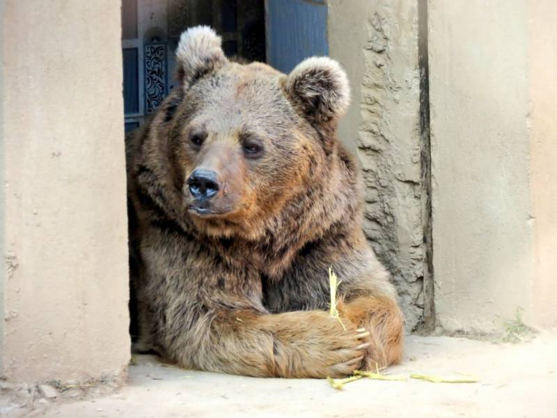 Bears Suzie and Babloo's export permit cancelled