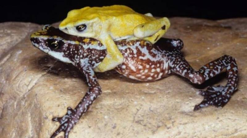 Climate change spurring frog extinctions: conservationists