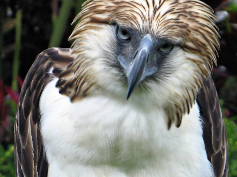 First Philippine eagle bred in captivity dies