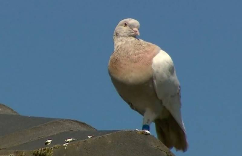 US pigeon becomes feathered fugitive after straying 9,000 miles