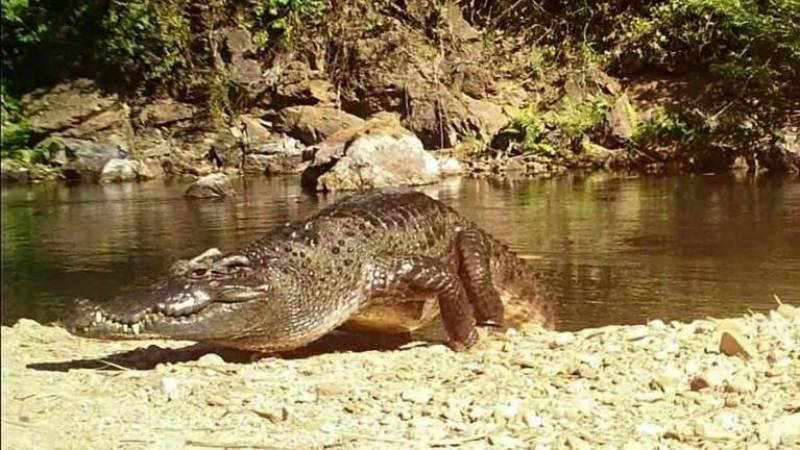 Endangered Siamese crocodile in rare sighting at Thai national park