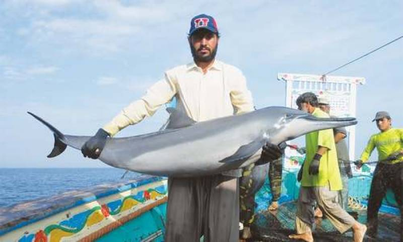 Two dolphins die waiting for Sindh Wildlife rescue