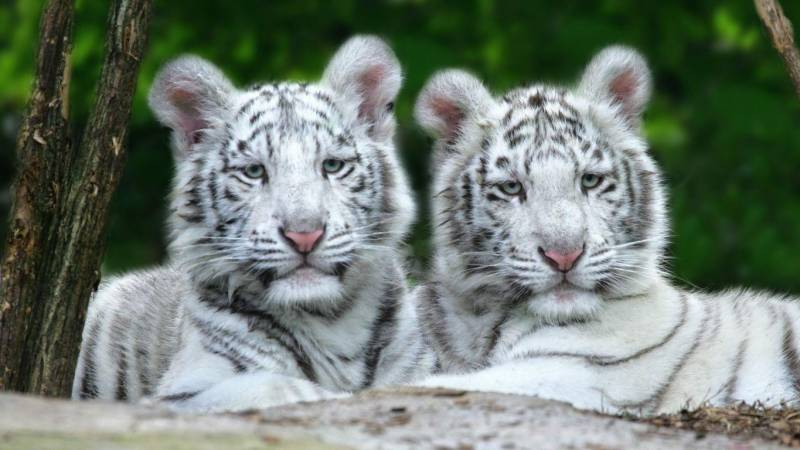 MPA moves resolution in PA after death of white tiger cubs at Lahore Zoo