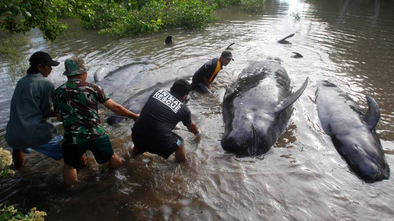 Dozens of whales die stranded on Indonesian beach