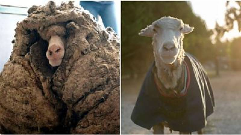 Aussie sheep sheds 35kg coat of wool