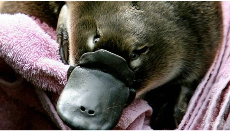 Climate disasters prompt Australia's first platypus refuge