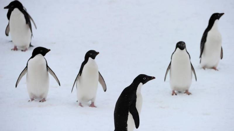 Norway penguins get vaccinated, isolation nearly over