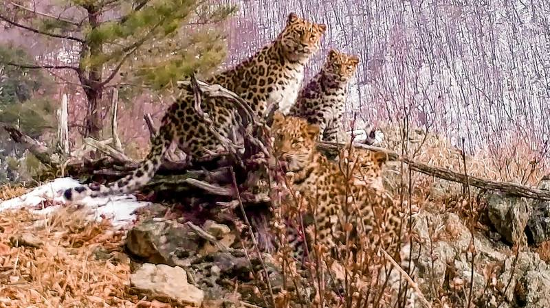 Russia hails rare sighting of Amur leopard mum with cubs
