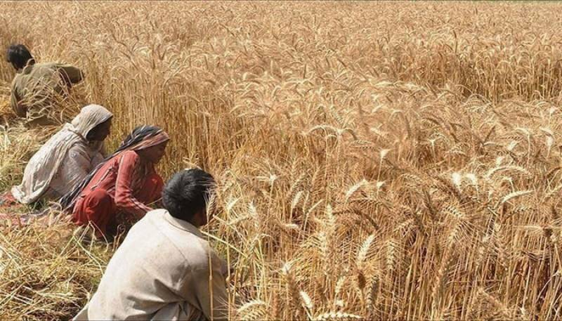 Wheat procurement drive to start in Punjab from April 1