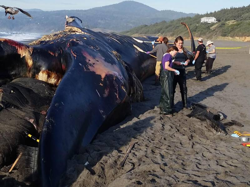 Rare blue whale washes up on Namibia beach