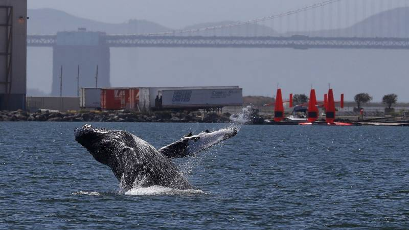 Lost in the Med: Pacific grey whale ventures far from home