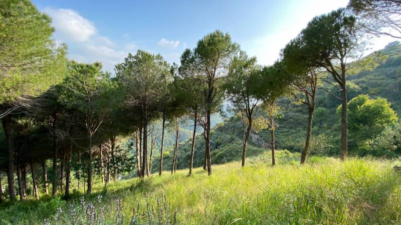 Insect pest eats into Lebanon's 'white gold' pine nut trade