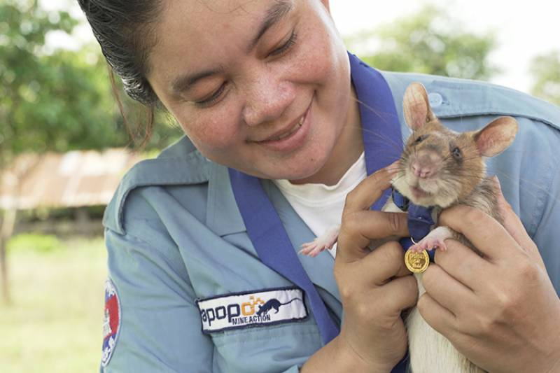 Bomb-sniffing rat retires after award-winning Cambodian career