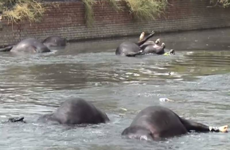 68 buffaloes electrocuted in Lahore