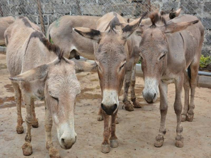 Donkeys' population increases by 200,000 during last three years, Pakistan Economic Survey